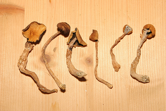 Dried Psilocybe Cyanescens - voitures-americaines info